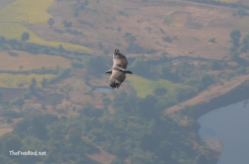 The Free Bird