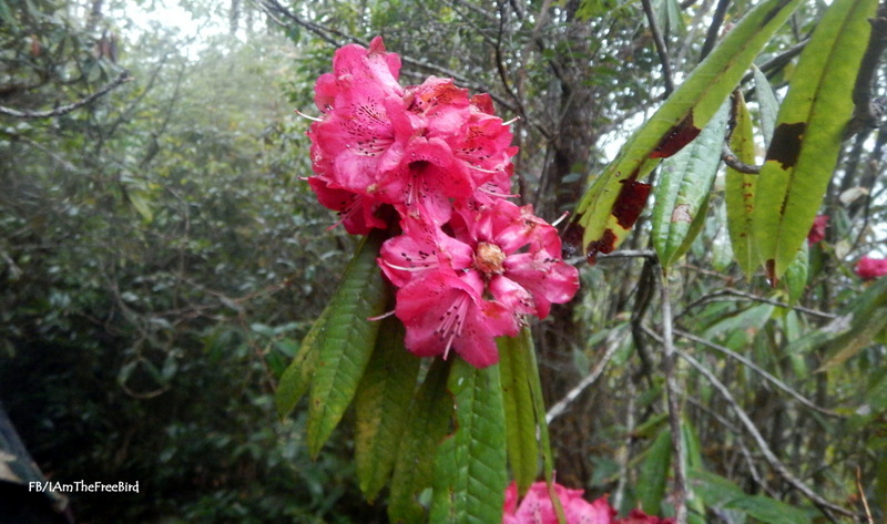 Rhododendrons NIMAS BMC