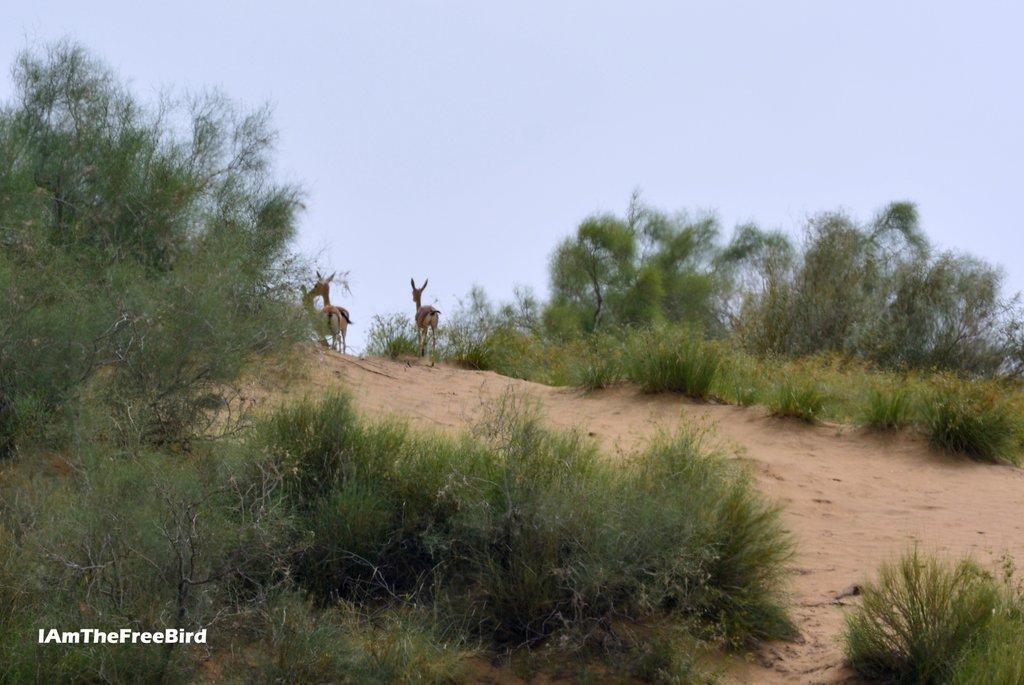 Deer at Jaisalmer