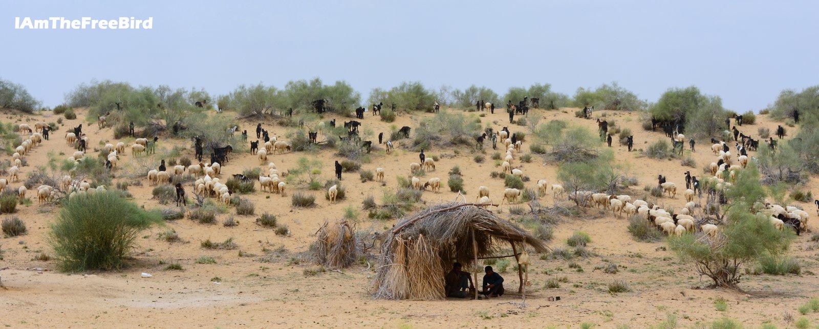 Goats in Jaisalmer desert